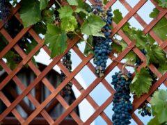 Шпалера для винограда: оптимальная опора для вьющегося растения